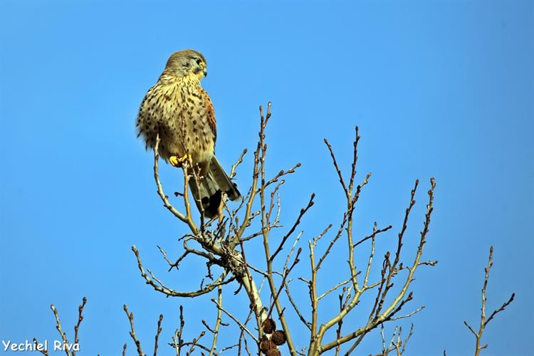 Support Israel and get this picture: Common kestrel