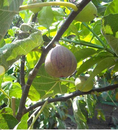 עץ תאנה, מתוקה ועסיסית