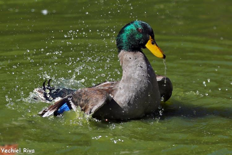 Support Israel and get this picture: Mallard