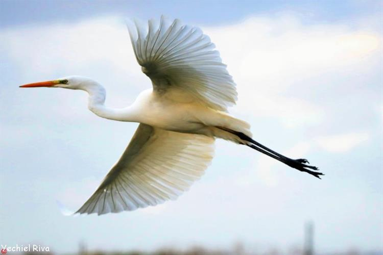 Support Israel and get this picture: white heron