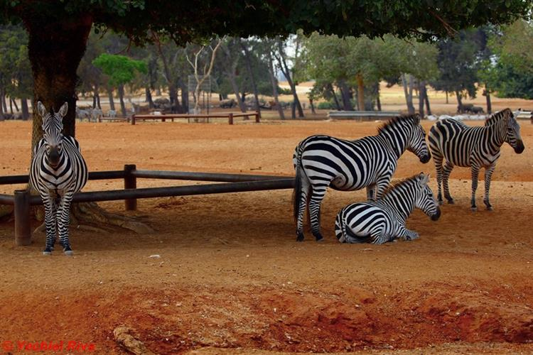 Support Israel and get this picture: Ramat Gan Zoo