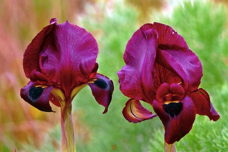 Support Israel and get this picture: Iris atropurpurea