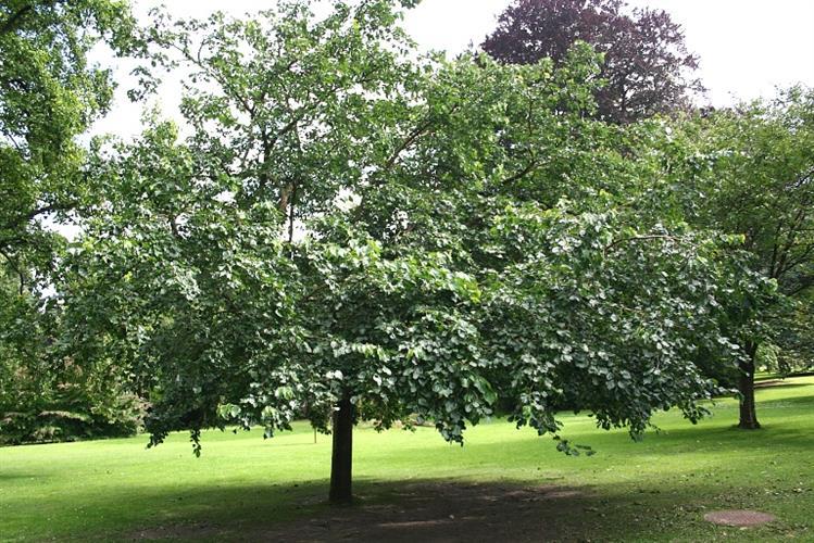 עצי תות בוגרים מלאי נוכחות