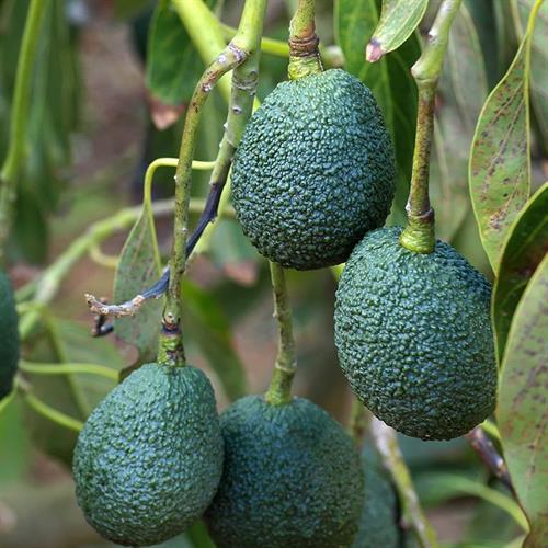 עץ אבווקדו אס