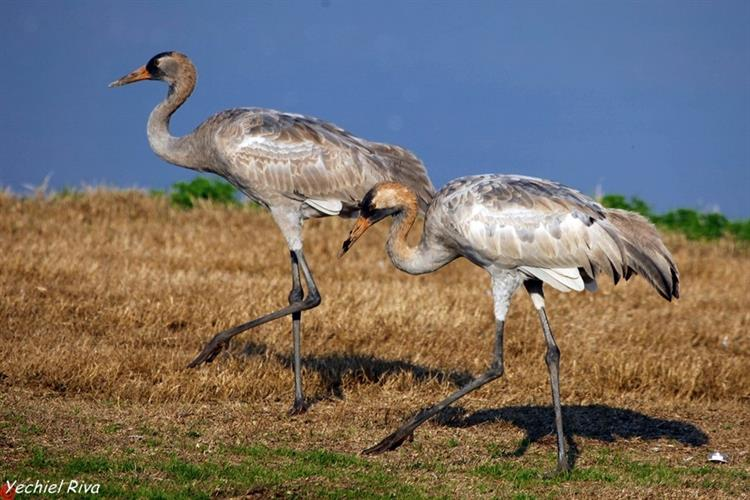 Support Israel and get this picture: Crane