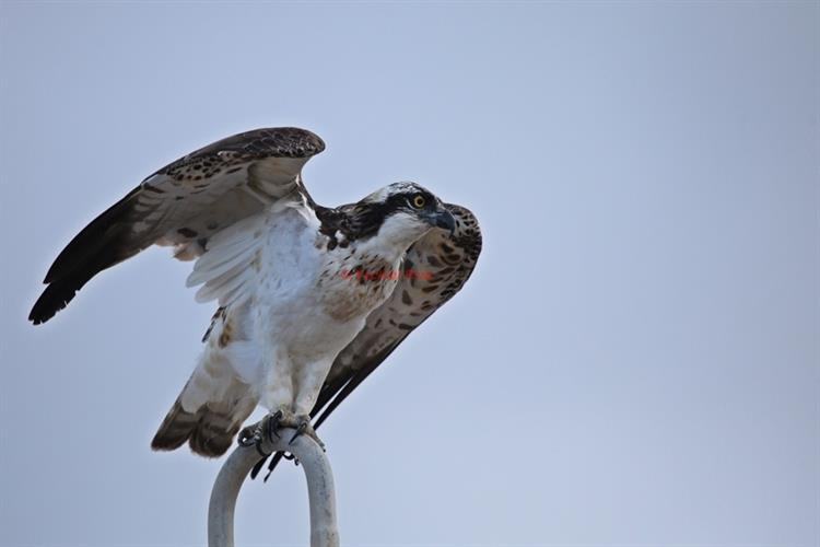 Support Israel and get this picture: Osprey