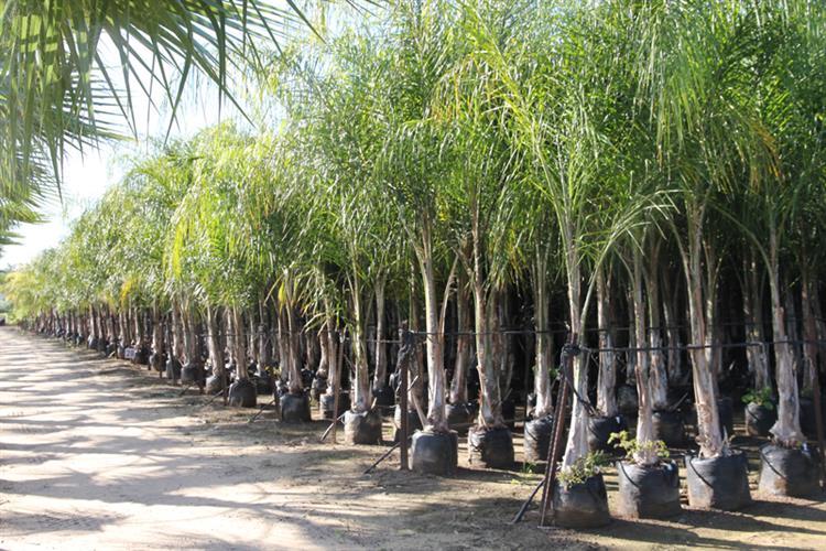 עצי דקל קוקוס צעירים