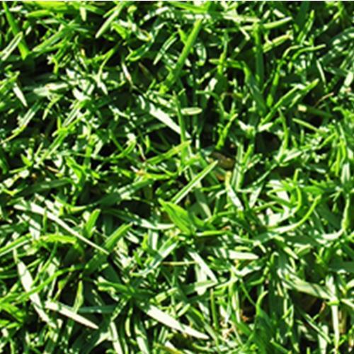 דשא מוכן פספלום