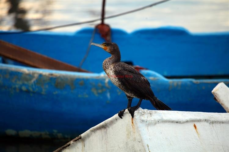 Support Israel and get this picture: Great cormorant