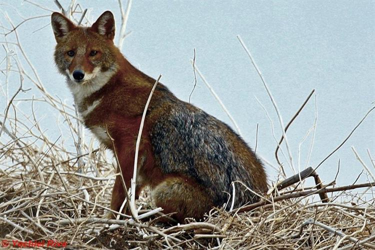 Support Israel and get this picture: Golden jackal