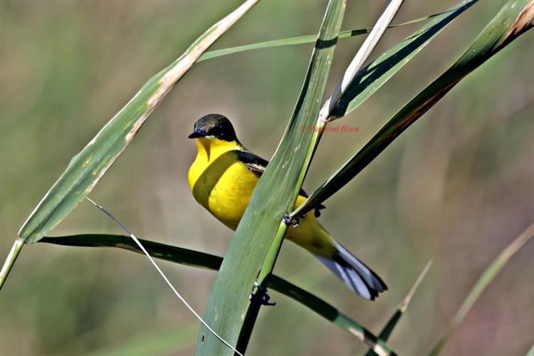 Support Israel and get this picture: Yellow Wagtail