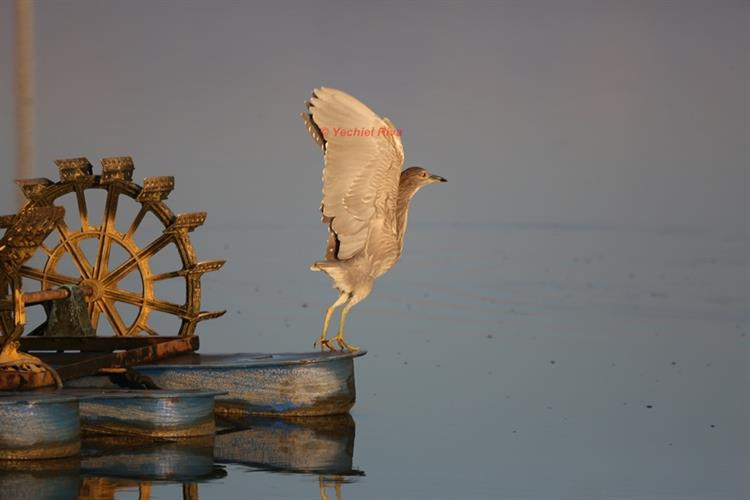 Support Israel and get this picture: Squacco Heron