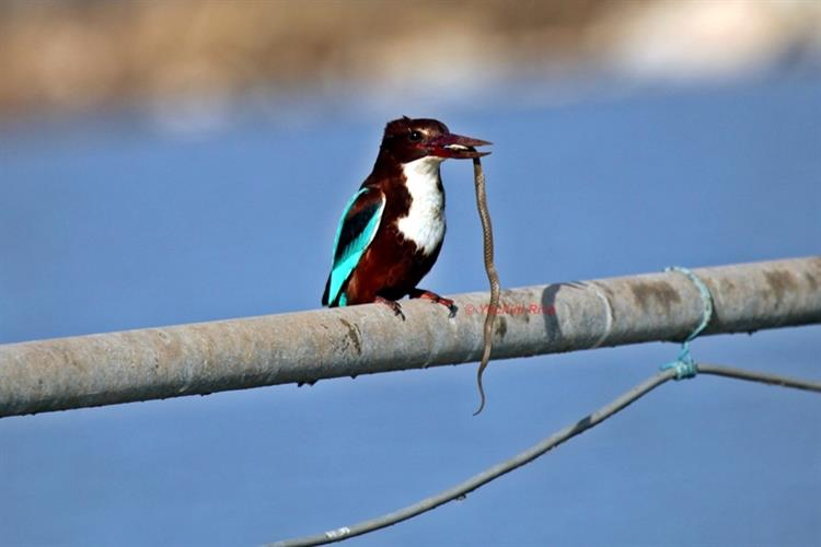 Support Israel and get this picture: White-throated kingfisher