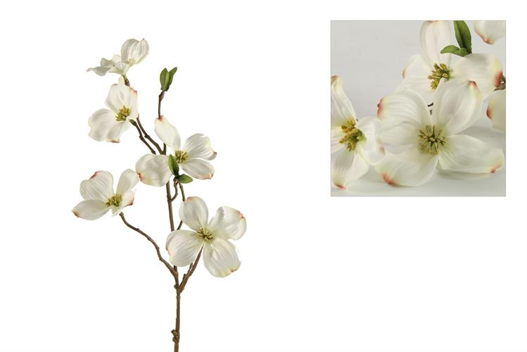ענף קרנית לבן