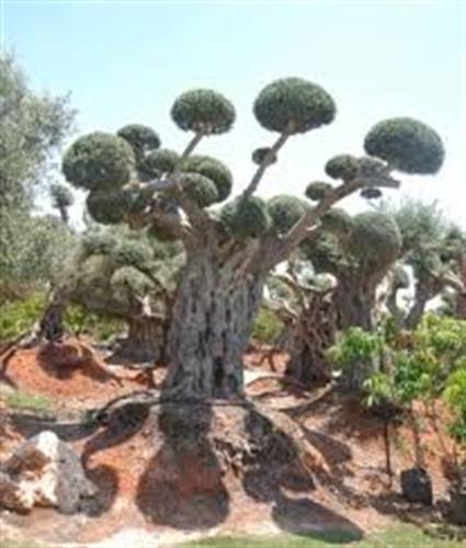 עצי זית בונסאי