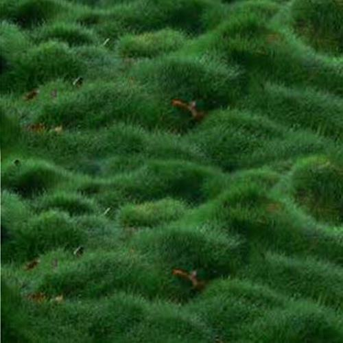 טנפוליה,דשא הגבעות