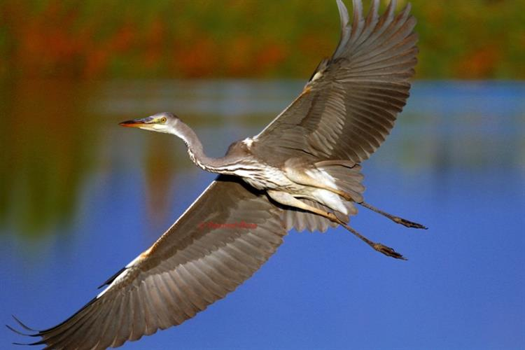 Support Israel and get this picture: Grey heron