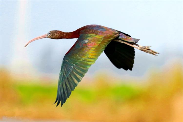 Support Israel and get this picture: Glossy ibis