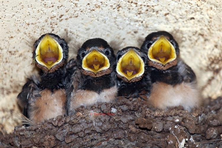 Support Israel and get this picture: Barn swallow