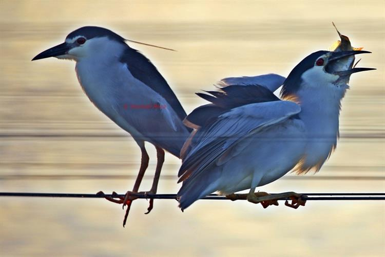 Support Israel and get this picture: Black-crowned night heron