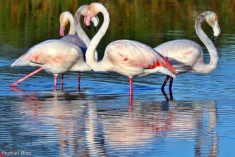 Support Israel and get this picture: Flamingo at Carmel beach