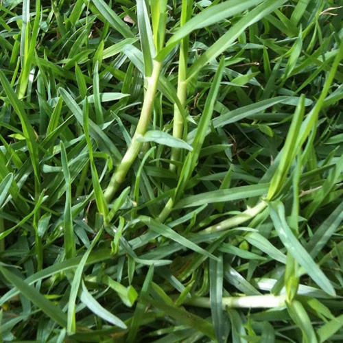 דשא טבעי קיקיו