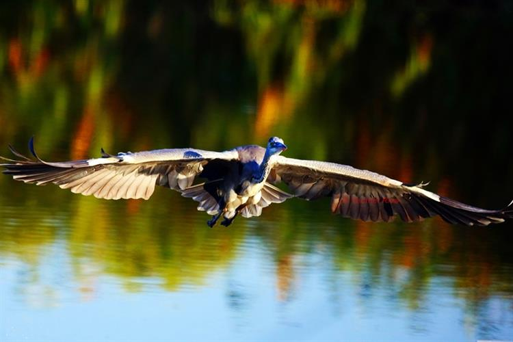 Support Israel and get this picture: Purple heron