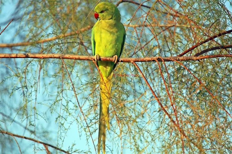 Support Israel and get this picture: Rose-ringed parakeet