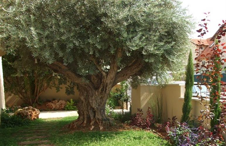 עצים זית בוגרים מרהיבים