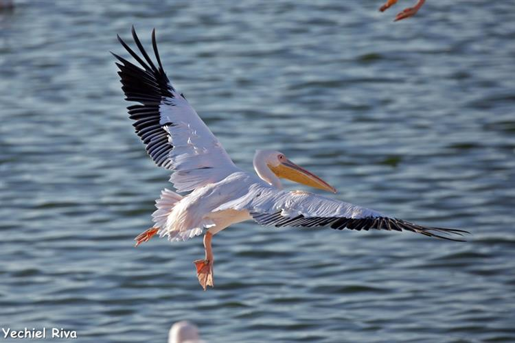 Support Israel and get this picture: Great white pelican