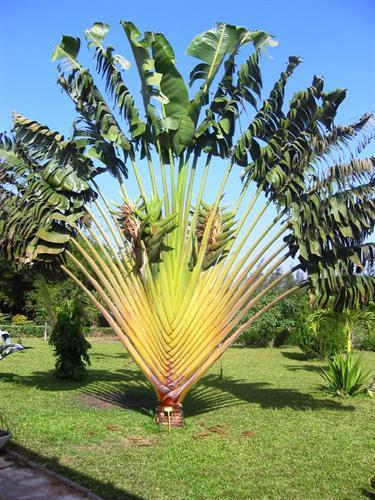 רבנלה מדגסקרית