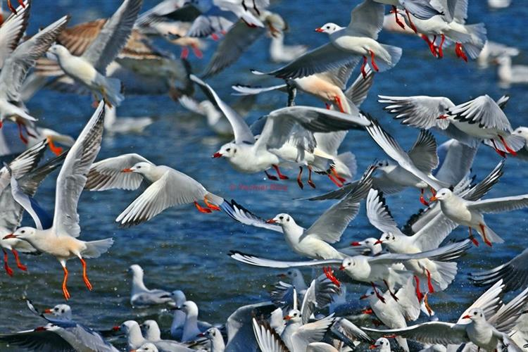 Support Israel and get this picture: Laridae - Size 40x60cm Printed on canvas