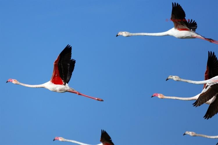 Support Israel and get this picture: Greater flamingo