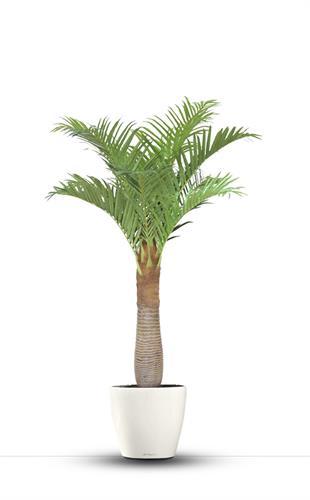 פרשליין - צמחיה מלאכותית - צמחים מלאכותיים - עץ דקל ארכיטופיניקס מלאכותי