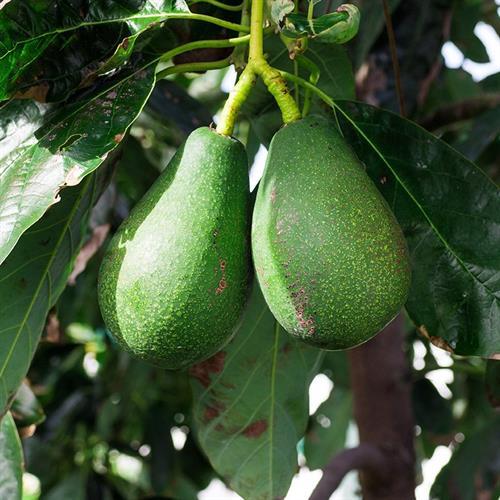 עץ אבוקדו אטינגר