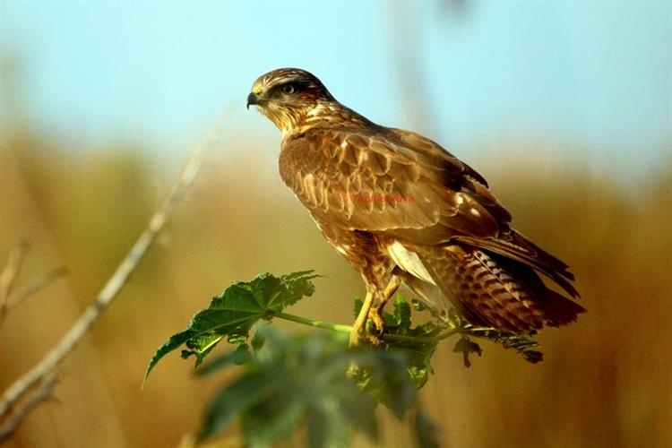 Support Israel and get this picture: Booted Eagle