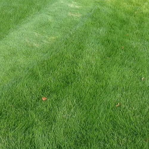 דשא טבעי,אלטורו