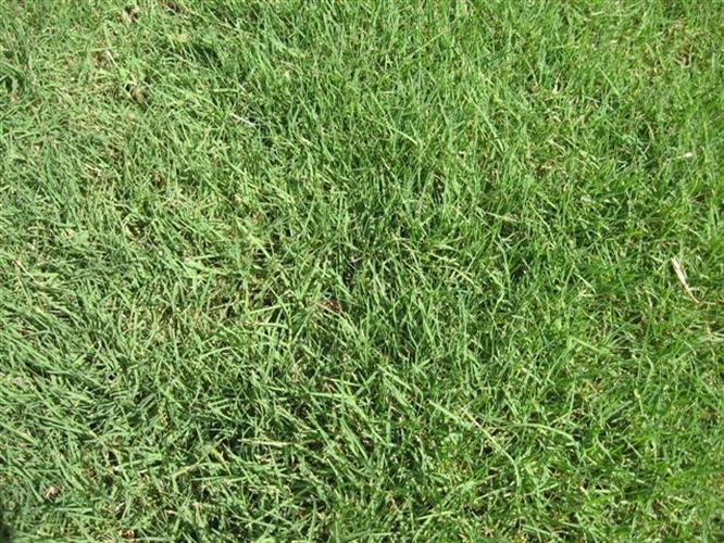 דשא טבעי  טיפווי