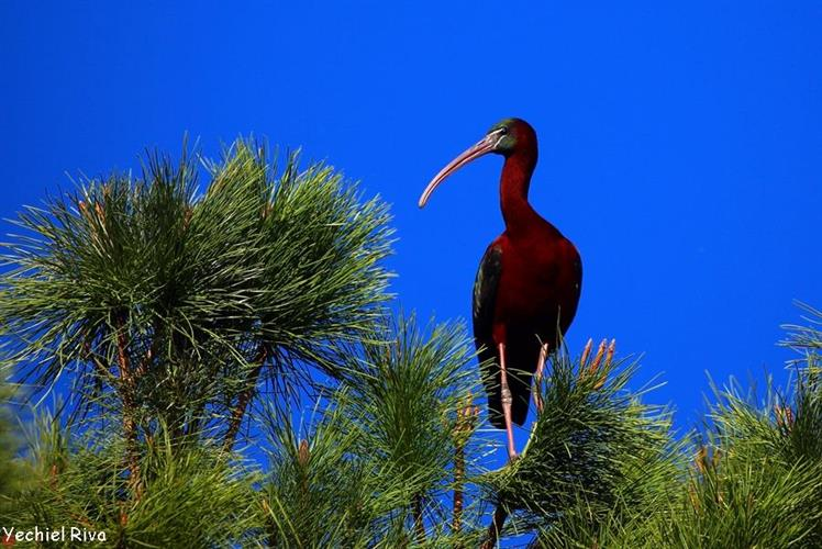 Support Israel and get this picture: Ibis