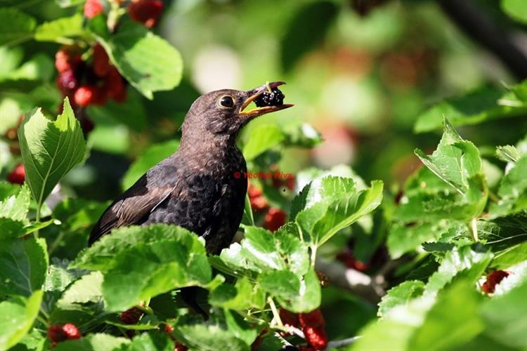Support Israel and get this picture: Common blackbird