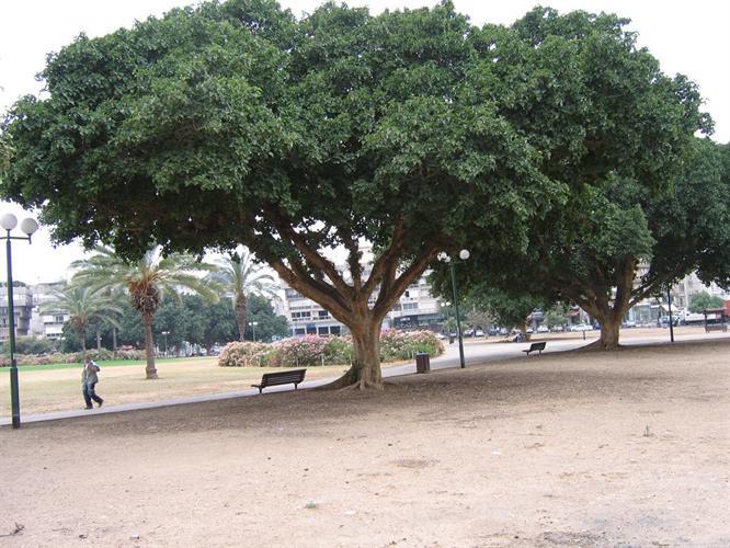 מבחר עצי שקמה לבחירה מדהימים ביופיים