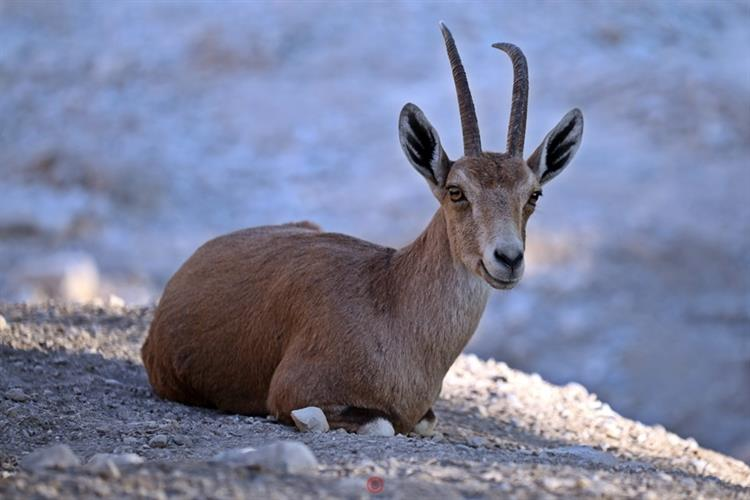 Support Israel and get this picture: Nubian ibex