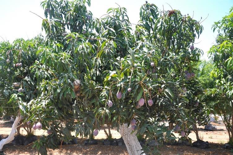 עץ מנגו מזן מאיה הטעים ביותר