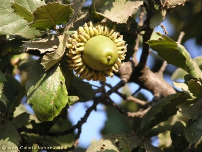 עצי אלון התבור