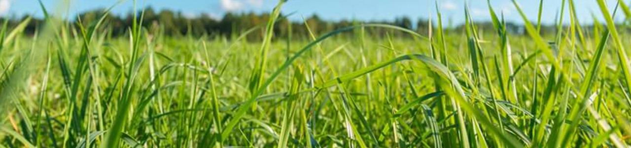 בשביל הדשא-דשא חי